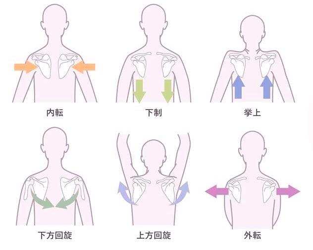 「肩甲骨 下方回旋 イラスト」の画像検索結果